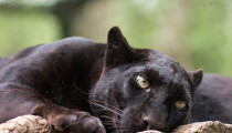 Feature Video: Amazing Thing Happens When Woman Meets Black Leopard